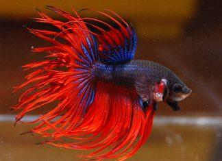 Рыбка петушок фото
