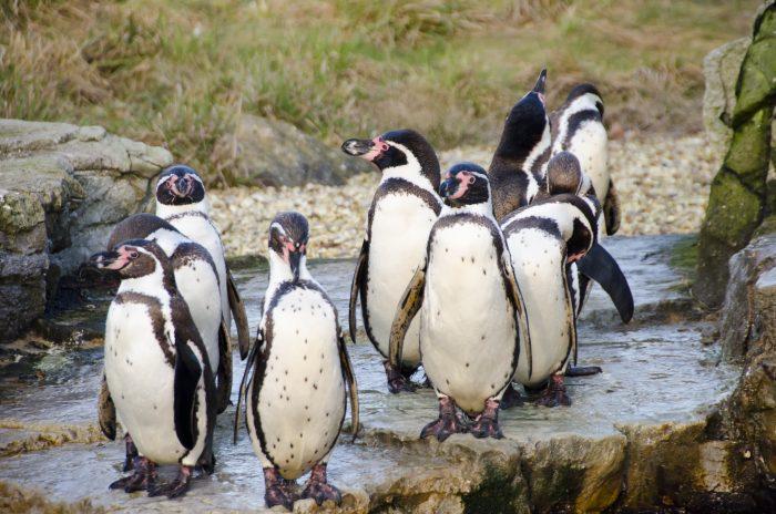 Пингвин Гумбольдта или перуанский пингвин (Spheniscus humboldti) фото