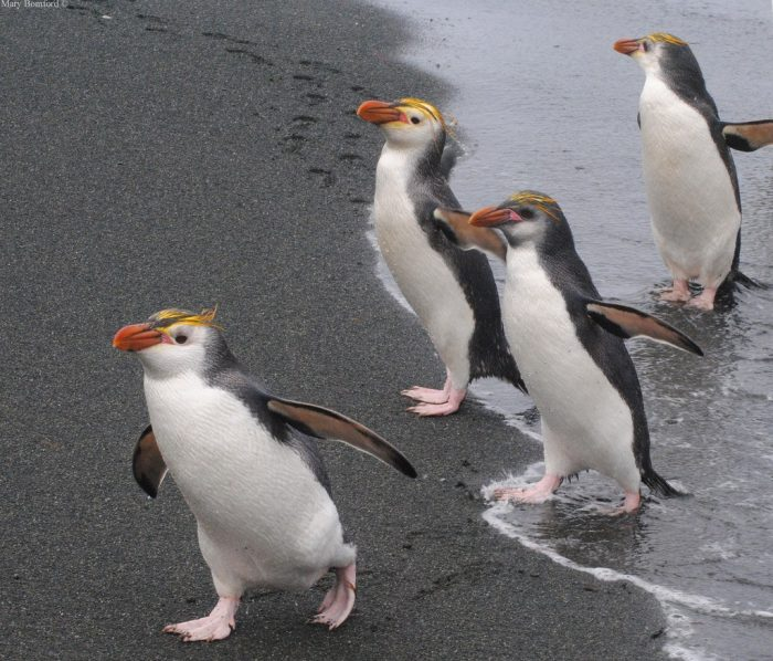 Пингвин Шлегеля (Eudyptes schlegeli) фото
