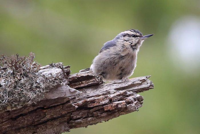Буроголовая гаичка фото (Poecile montanus)