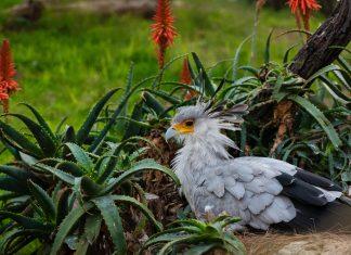 Птица-секретарь фото