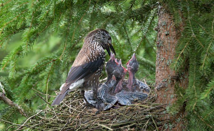 Размножение кедровки фото