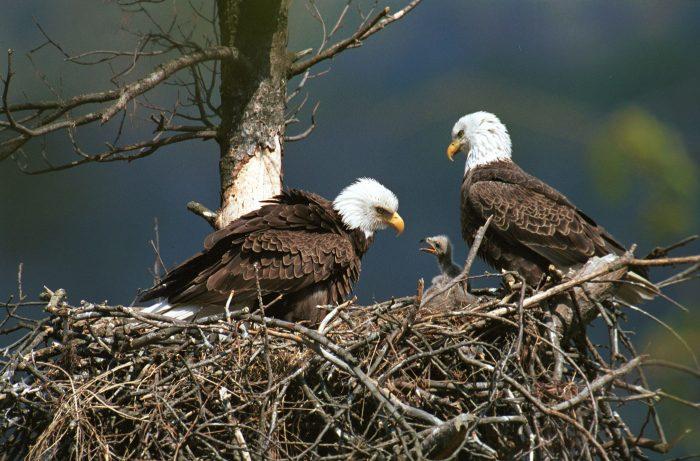Размножение орла фото