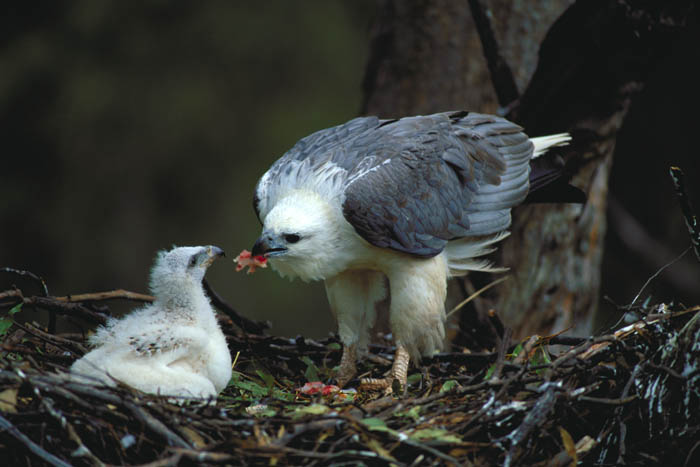 Размножение орлана фото
