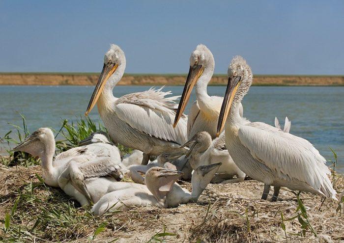 Размножение пеликана фото