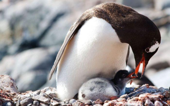 Размножение пингвинов фото