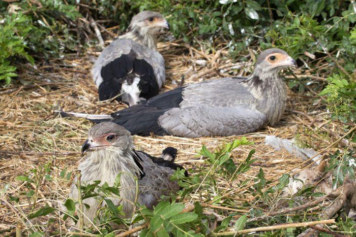 Размножение птицы-секретаря фото