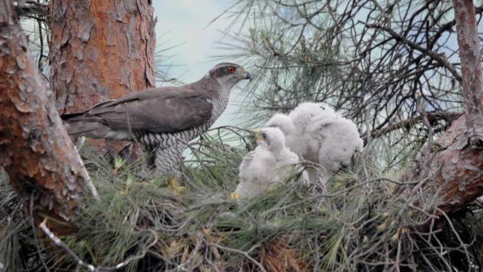 Размножение ястреба-тетеревятника фото
