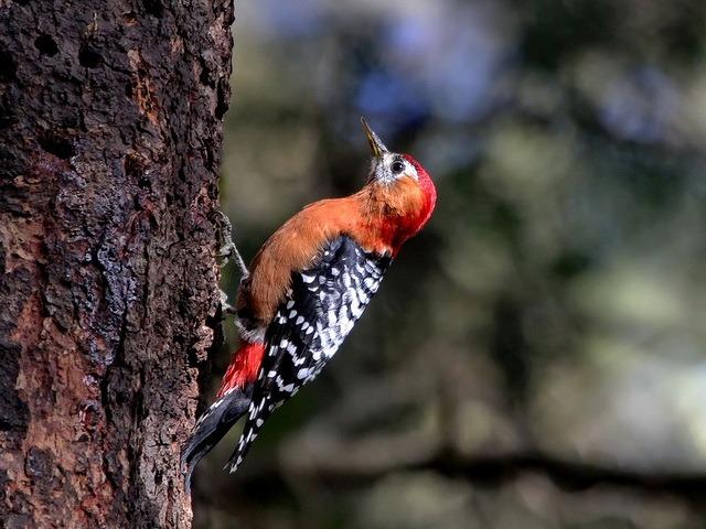 Рыжебрюхий или красношейный или рыжегрудный дятел (лат. Dendrocopos hyperythrus) фото