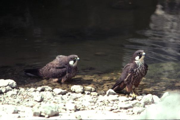 Самец и самка алета: основные отличия фото