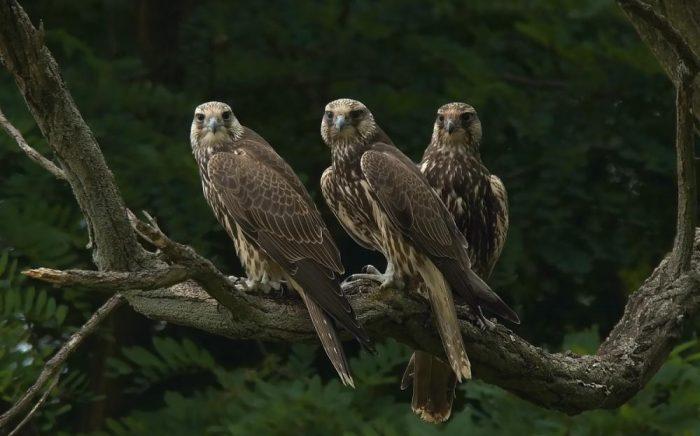 Самец и самка балабана: основные отличия фото