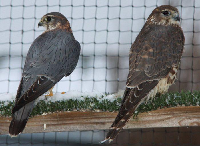 Самец и самка дербника: основные отличия фото