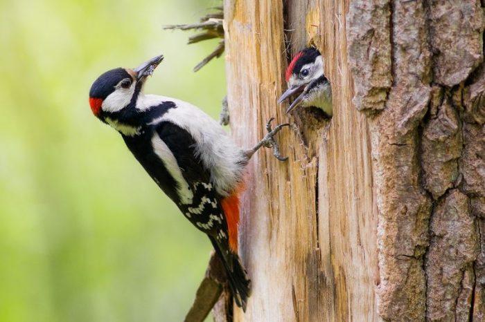 Самец и самка дятла: основные отличия фото