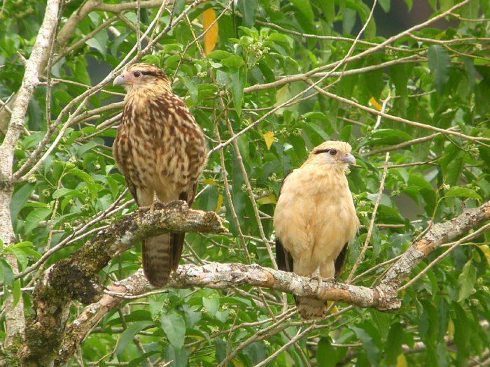 Самец и самка химахимы: основные отличия фото