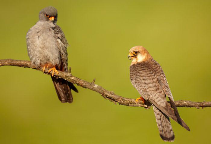 Самец и самка кобчика: основные отличия фото