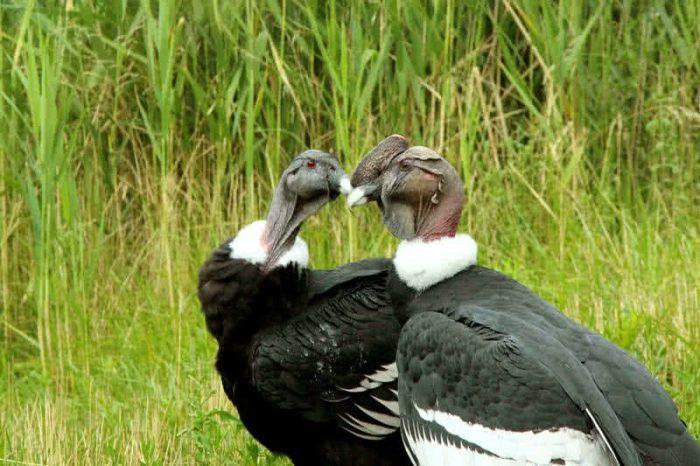 Самец и самка кондора: основные отличия фото