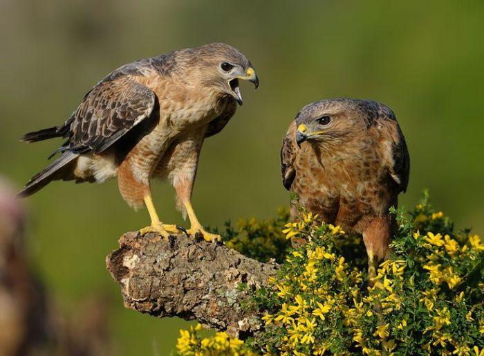 Самец и самка курганника: основные отличия фото