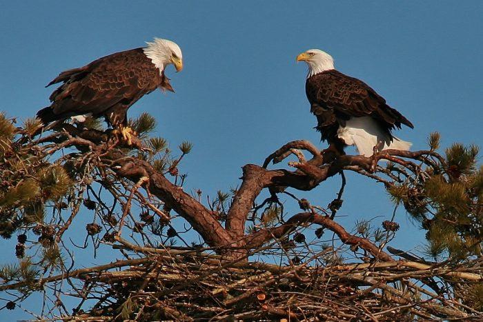 Самец и самка орла: основные отличия фото