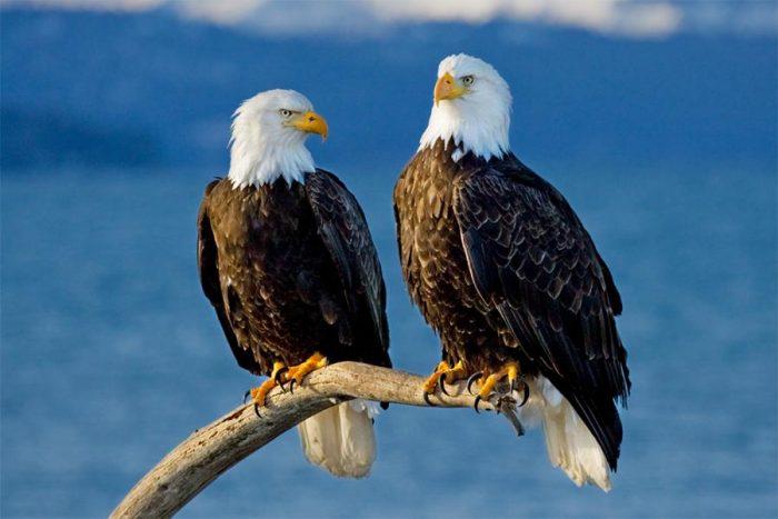 Самец и самка орлана: основные отличия фото