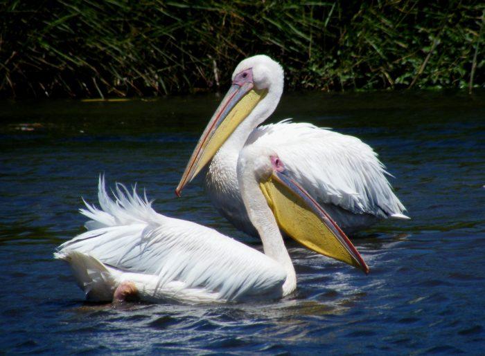 Самец и самка пеликана: основные отличия фото