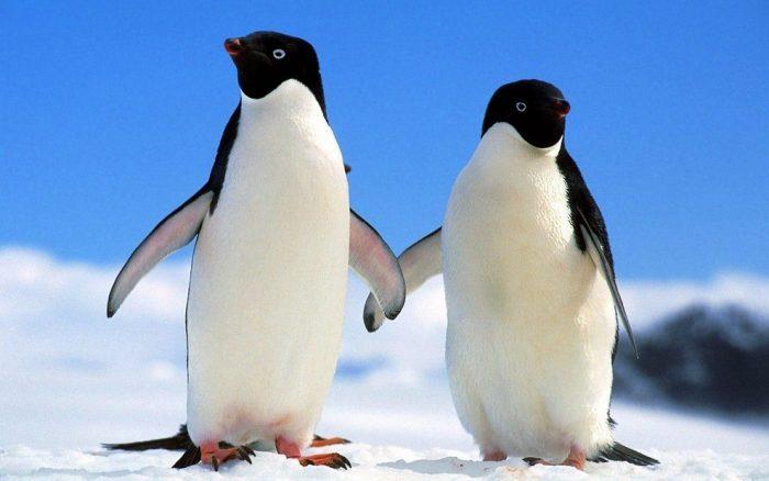Самец и самка пингвинов: основные отличия фото