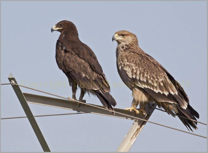 Самец и самка подорлика: основные отличия фото