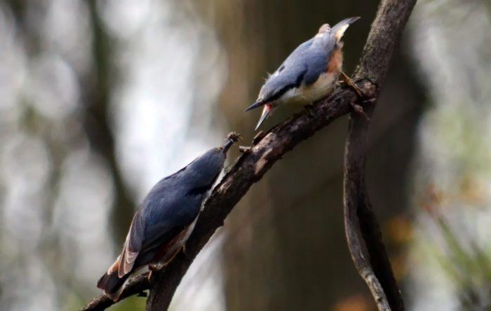 Самец и самка поползня: основные отличия ajnj