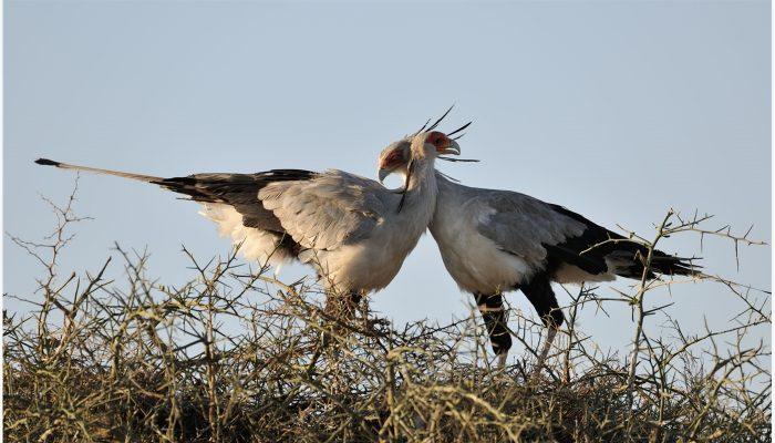 Самец и самка птицы-секретаря: основные отличия фото