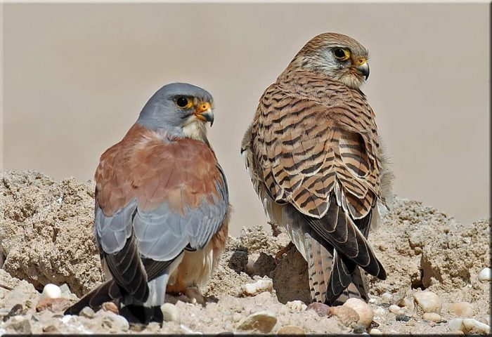 Самец и самка пустельги: основные отличия фото