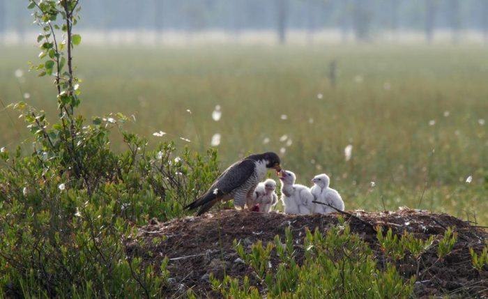 Самец и самка сапсана: основные отличия фото