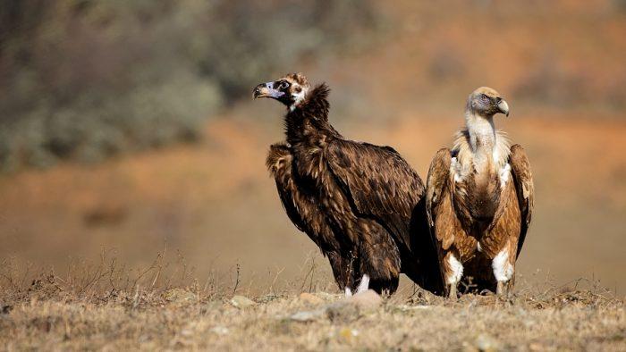 Самец и самка сипа: основные отличия фото