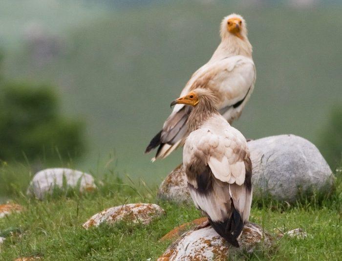 Самец и самка стервятника: основные отличия фото