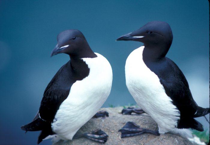 Самец и самка тонкоклювой кайры: основные отличия фото