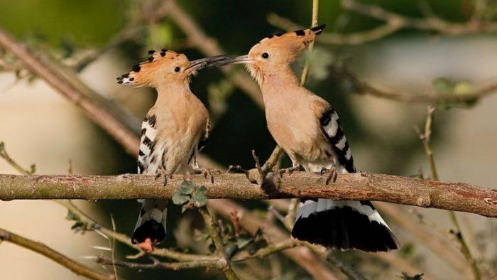 Самец и самка удода: основные отличия фото