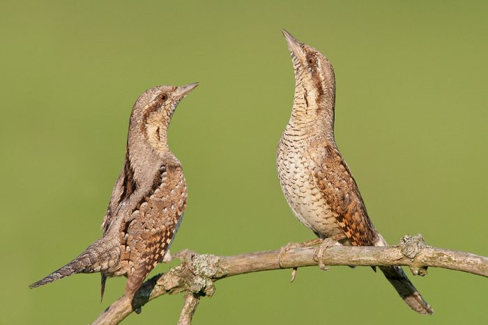 Самец и самка вертишейки: основные отличия фото