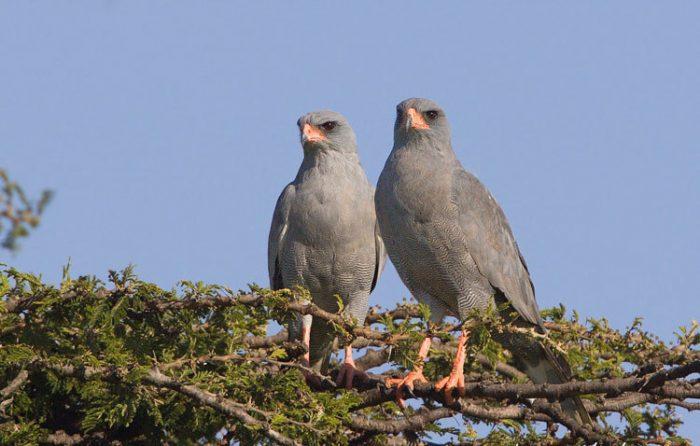 Самец и самка ястреба: основные отличия фото