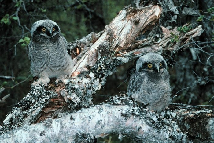 Самец и самка ястребиной совы: основные отличия фото