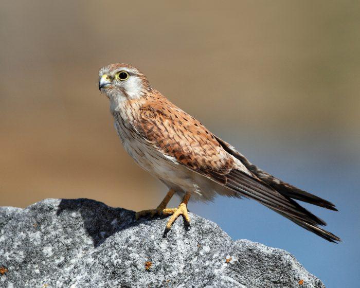 Седобородая или австралийская пустельга (Falco cenchroides) фото