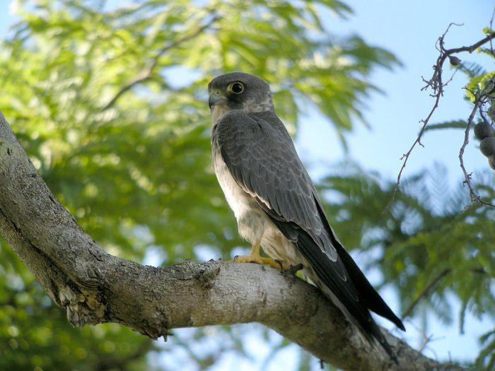 Серебристый чеглок (Falco concolor) фото