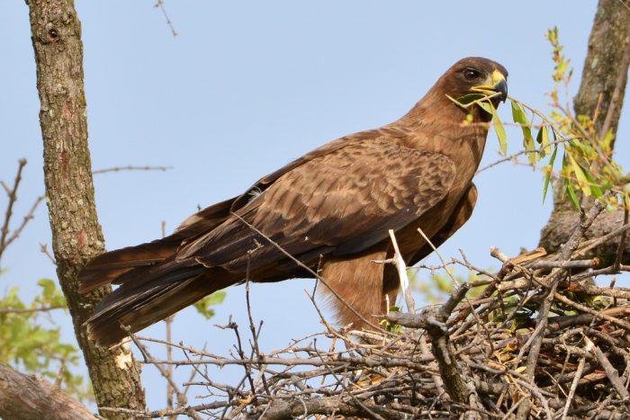 Серебристый орёл (Aquila wahlbergi) фото