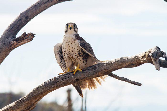 Сейшельская пустельга (Falco araea) фото