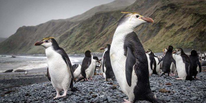Снэрский хохлатый пингвин (Eudyptes robustus) фото