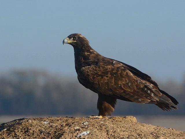 Степной орёл (Aquila nipalensis) фото