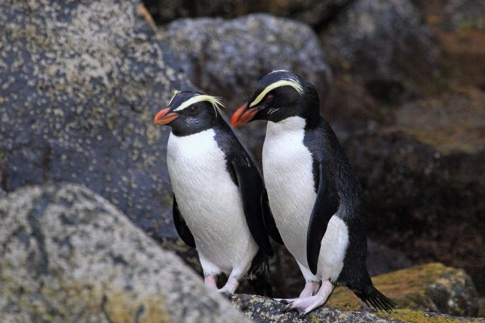 Толстоклювый пингвин (Eudyptes pachyrhynchus) фото