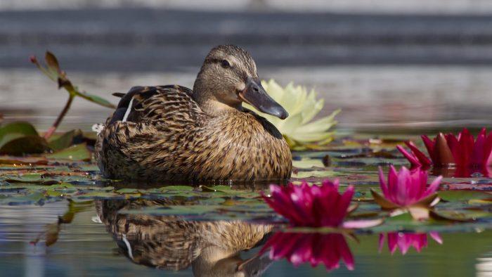 Домашняя утка: описание, содержание и разведение, виды
