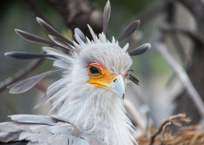 Распространенные виды птицы-секретаря фото