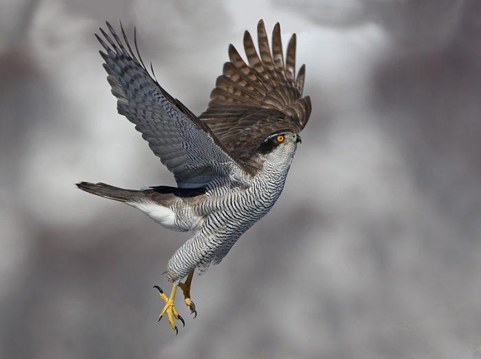 Ястреб тетеревятник Птицы Запорожской области