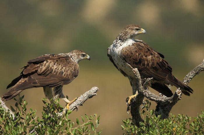 Ястребиный орёл (Aquila fasciata) фото