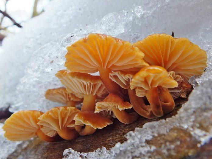 Зимний гриб, зимний опенок фото