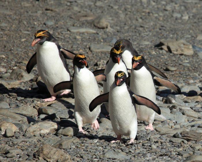 Золотоволосый пингвин (Eudyptes chrysolophus) фото
